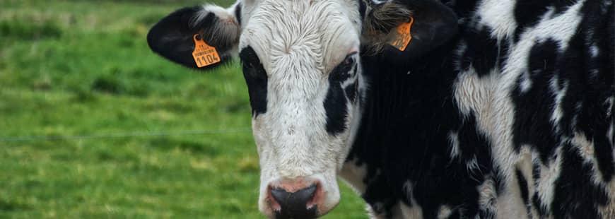 vache-cuir