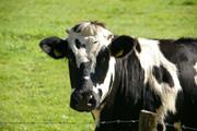 Les jeunes vétérinaires préfèrent chats et chiens aux vaches