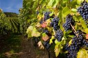 Assurance professionnelle : la filière viticole mal couverte face au risque de grèle