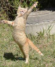chat-debout-danse