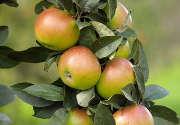 pommes-feuilles